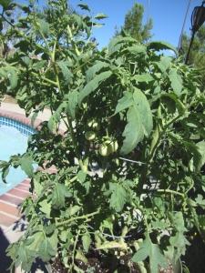 A Tomato Plant